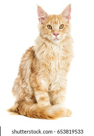 The cat sits and looks, the Maine Coon breed
