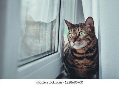 The cat sits and looks out the window. Breed of cat the Bengal.