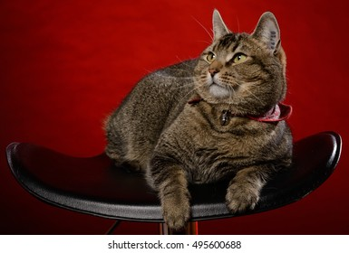 Cat sits on a black chair in front of a red background