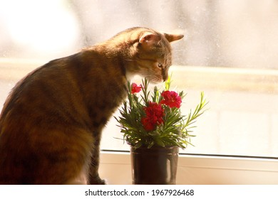 The cat sits on the window and sniffs the scent of a red chrysanthemum flower