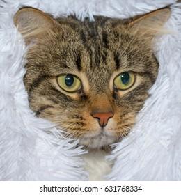 Cat sits under a cloth .Horizontal.