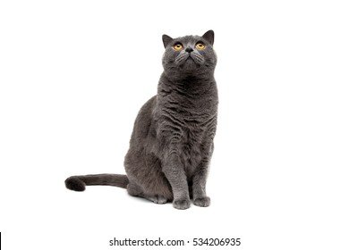 Cat sitting and looking up isolated on white background. horizontal photo.