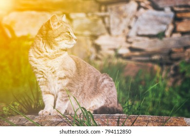 Cat sitting on a garden stone looking intently back over its shoulder as it watches something, profile view with golden glow from the sun