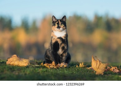 Cat sitting on the lawn with falling leaves in autumn