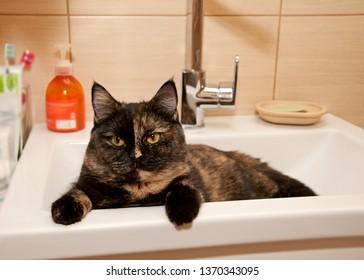Cat sitting on wash basin in bathroom. Scottish straight shorthair cat