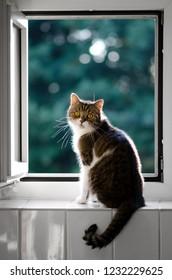cat sitting on window sill - tabby white british shorthair cat standing on window sill looking at camera