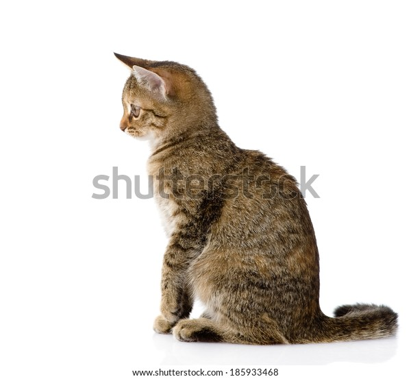 cat sitting in profile. isolated on white background