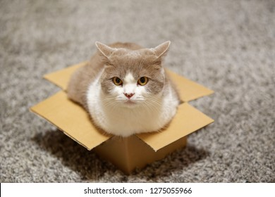 Cat sitting in a small cardboard box and looking towards camera
