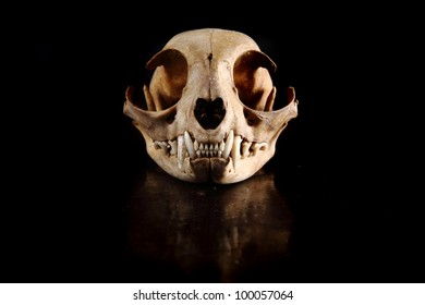 cat skull isolated on the black background