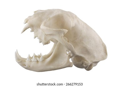 Cat skull isolated on a white background