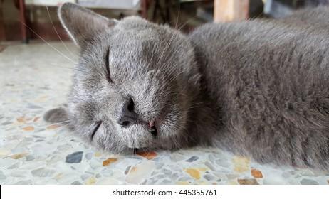 cat sleep lie down on terrazzo floor, chartreux