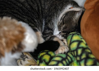 A cat sleeping among the stuffed animals. Animal world. Pet lover.Cat lover. American Wirehair.