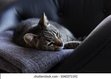 Cat sleeping in a black armchair closeup