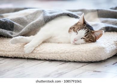 Cat sleeping at home. Pet under blanket