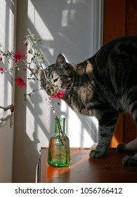 Cat smelling an arrangement of fairy duster flowers