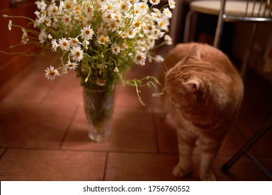 The cat sniffs the flowers. The cat sniffs a bouquet of white daisies. Photo for a holiday card. Mothers Day. A wonderful bouquet of daisies.