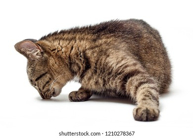 Cat sniffs on a white background