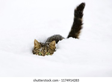 Cat in snow, domestic cat, male