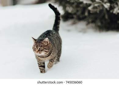 A cat in the snow. Portrait of a kitten making her way through the deep snow.