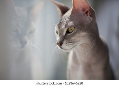 cat sphinx sits by the window on the windowsill