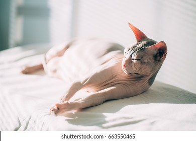 Cat sphinx without hair sleeping on the couch On a sunny day. Summer day concept