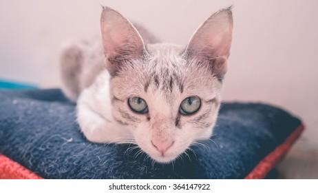 Cat squat on dark blue pillow.