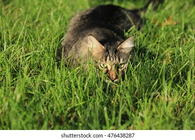 A cat staking it's prey in the grass