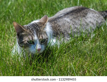Cat stalking prey - Lombard, Illinois, July 7, 2018