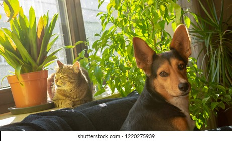 Cat is sunning on the windowsill and dog is sitting in front of it. tabby domestic cat and mongrel dog from german shepherd and greek hunting dog