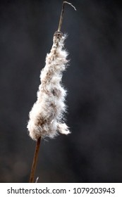 Cat tail in the wind