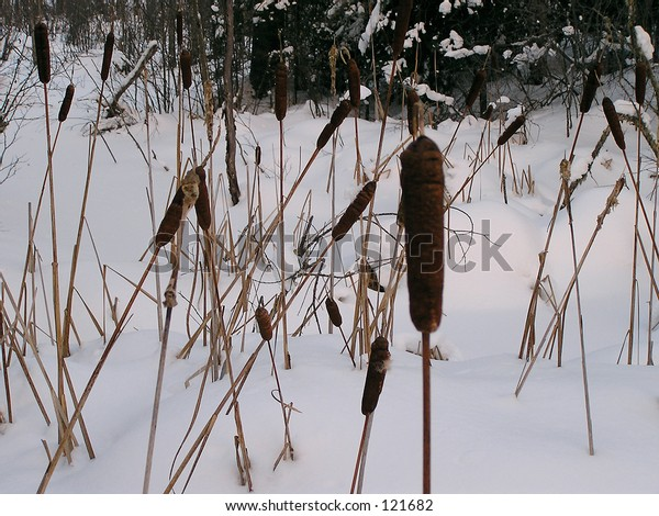 Cat Tails used by native (autochtons) people in Northern Quebec
