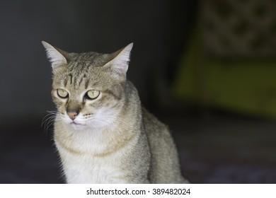 Cat Thailand on blurred background .