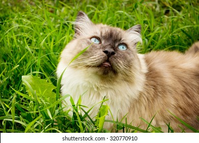 Cat is in the thick green grass and looking up
