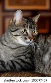 cat- tiger cat- gray cat