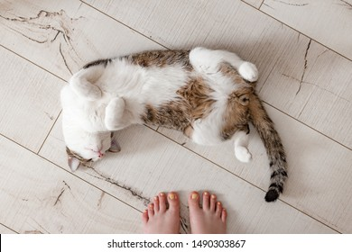 Cat top view lying on parquet floor. Girl's legs and pet