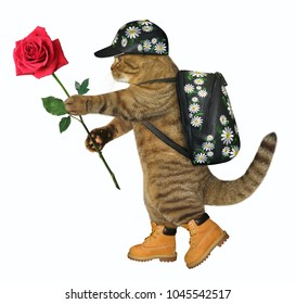The cat tourist with a backpack holds a red rose. White background.