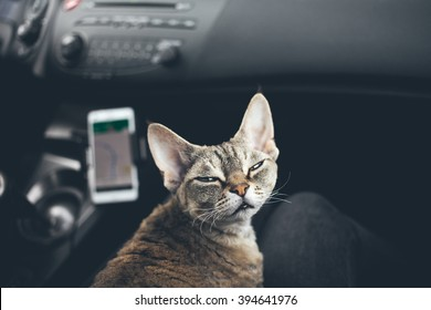 Cat is traveling in a car. Adorable devon rex cat is sitting on a lap and enjoying the road. Road tripping with your cat can be fun. Cat loves to travel