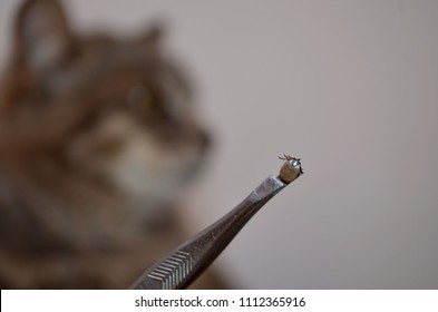 Cat and tweezers with mite