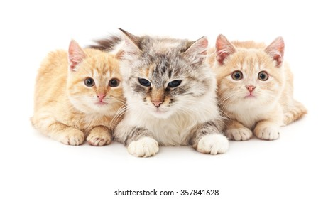 Cat and two kittens on a white background.