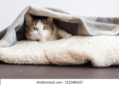 Cat under blanket. One cat at home