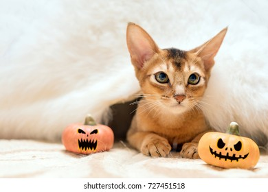 Cat under a white fur blanket with two Halloween pumpkins