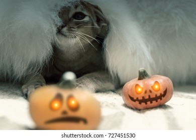 Cat under a white fur blanket with two Halloween pumpkins. Toned
