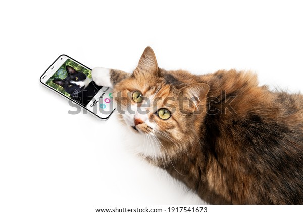 Cat using online dating app on mobile phone. Top view of female cat swiping and liking male profiles with paw. Mockup screen. Concept for pets using technology, or animals imitating humans.
