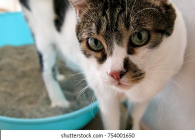 Cat using toilet, cat in litter box, for pooping or urinate, pooping in clean sand toilet. A cat looking at her own poop in the blue litter box. Cat at home.