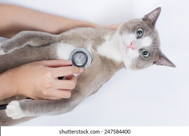 Cat veterinarian checking With STETHOSCOPE Cats with shock and fear
