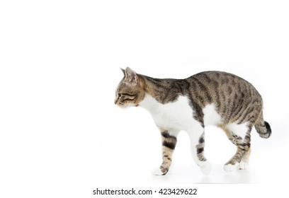 Cat  walking and looking to camera isolated on white background.