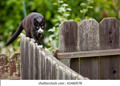 Cat is walking on a fence. Neighbors? cat is staring at photographer.