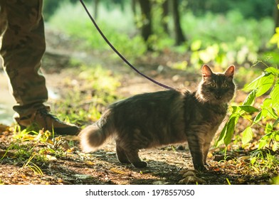 Cat walking on a leash in the forest. Man legs in the background. Selective focus. Back light. Beautiful sun reflections. Afternoon.