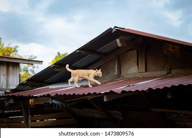 Cat walking on the roof of the house, chasing mice.