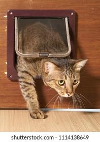Cat is walking through the cat flap door